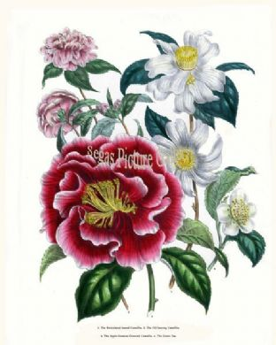 Camellia, Reticulated-leaved; Oil-bearing Camellia
